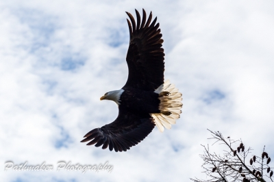 Bald Eagle Fall 2017 (7)