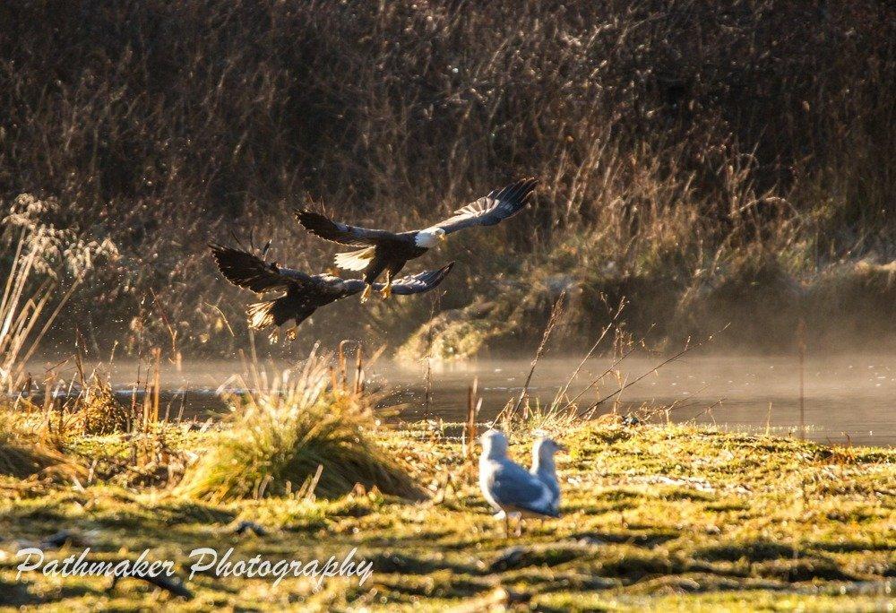 GoldStream Park Salmon Run Eagles 2017